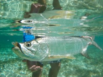 Tarpo - Fly Fishing in the Bahamas
